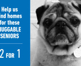 Senior Pugs Ready for Adoption