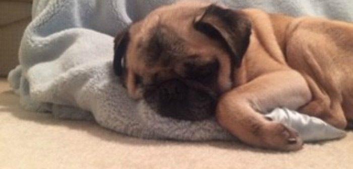 728eca19b DFW Pugs Rescue Club — DFWPRC rescues all pugs regardless of age or ...